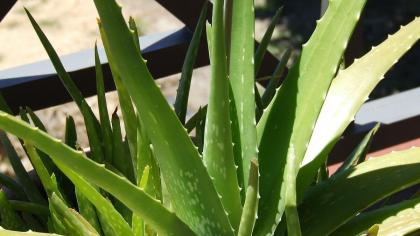 Green, succulent aloe vera leaves with toothed edges