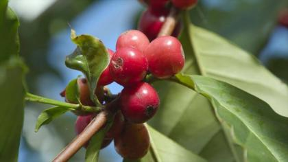 Red berries of Arabica coffee plant