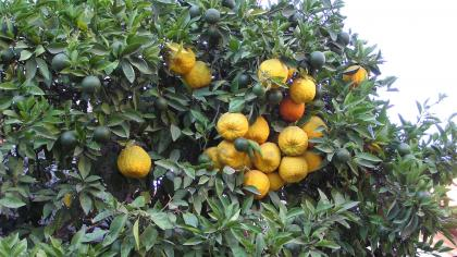 Broad, green leaves and spherical, orange fruit