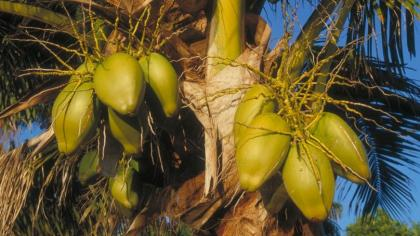 Rounded, green coconut palm fruit
