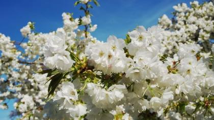 White blossom of Japanese cherry