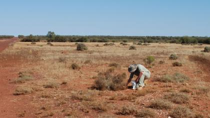 Researcher collecting seeds in a desert area in Australia