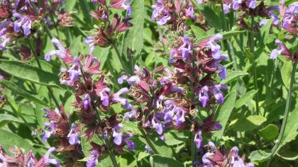 Purplish-blue flowers and oblong, green leaves of garden sage