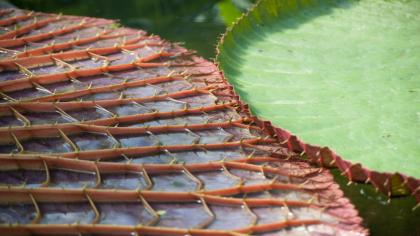 Green upper side and red, ribbed lower side of giant waterlily leaves