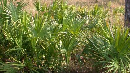Ground-level saw palmetto with green, fan-shaped leaves