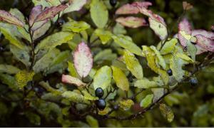 Pseudowintera colorata