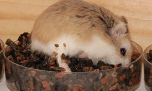 Hamster digging for seed in gravel