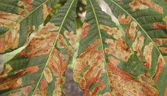 Photo of horse chestnut leaves damaged by the leaf miner Cameraria ohridella