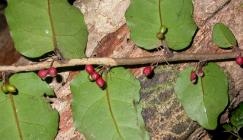 Photo of Amborella trichopoda, endemic to New Caledonia