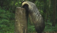Badger at Wakehurst