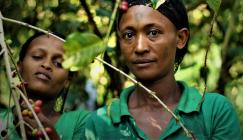 Picking ripe coffee (harvesting) at Yayu. (Image: Jeremy Torz, Union Hand-Roasted Coffee).