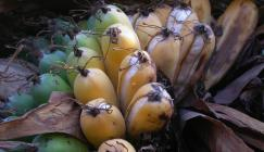 Unlike the widely cultivated and sterile Cavendish Banana, the Madagascar Banana Ensete perrieri has small fruit which contain seeds