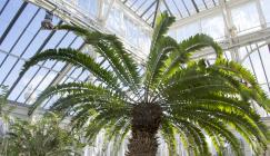 Encephalartos woodii in the Temperate House