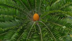 Encephalartos_woodii