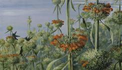 'Leonotis nepetifolia and Doctor Humming Birds, Jamaica,' by Marianne North (1872, cropped).