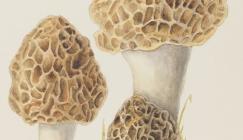 Morchella esculenta detail