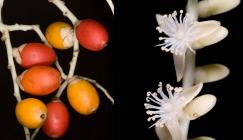 Picture of red and yellow fruits and a white stem with white flowers