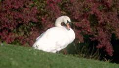 Swan in front of bush in autumn
