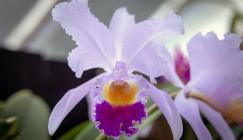 Cattleya trianae, Colombia's national orchid