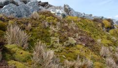 Falkland Islands cushion heath (Image: © M.Corcoran)
