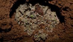 Fungus-growing ants (Credit: Pepijn Kooij)