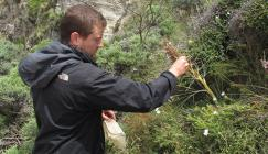 Finn Michalak from Otari Native Botanic Garden collecting seeds of Aciphylla squarrosa in Titahi bay, New Zealand. (Photo: Peter Giovannini)