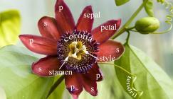Photo of Passiflora phoenicea