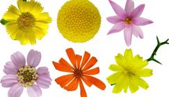A small fraction of the huge diversity of flower heads within the daisy family