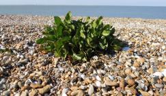 Sea beet (Beta vulgaris subspecies maritima) growing on a shingle beach (Image: M.Chester).
