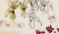A section of an illustration of Stanhopea wardii. Original drawing by S.A. Drake for Plate XX in John Lindley's Sertum Orchidaceum.