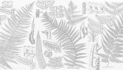 pen and ink scientific illustrations for new species of tree ferns from New Guinea,  Lucy T Smith