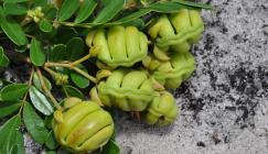 Eligmocarpus cynometroides immature fruits