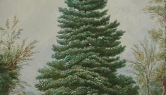 Painting of Richardson fir
