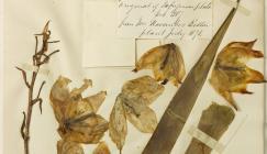 One of Ellacombe's herbarium specimens