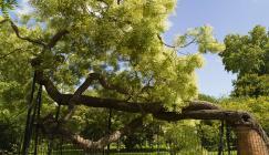 Styphnolobium japonicum (the pagoda tree) at Kew