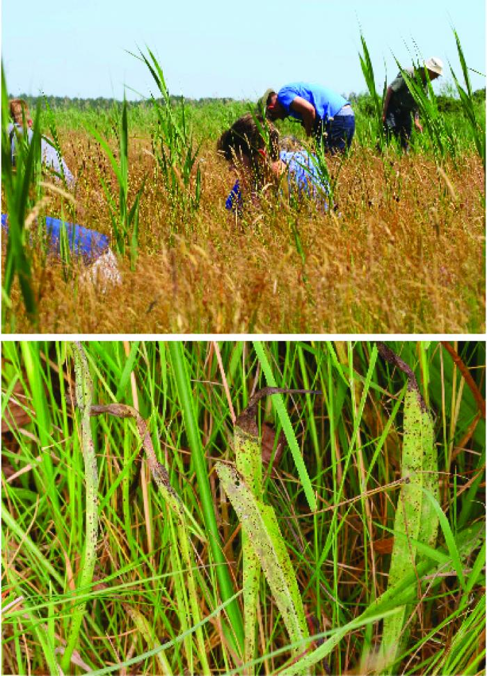 image showing volunteers surveying for the rust fungus Puccinia scorzonerae on Scorzonera humilis (viper's-grass), and Puccinia scorzonerae, refound in England after 101 years!