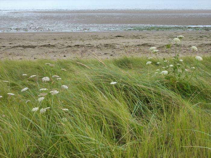 Photo of wild carrots growing in the Youghal, Ireland