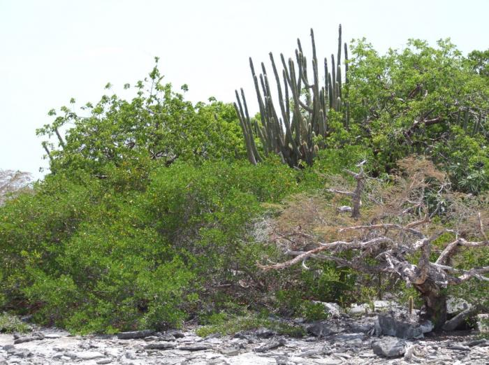 Image showing typical Anegada dry forest habitat (Image: C.Clubbe)