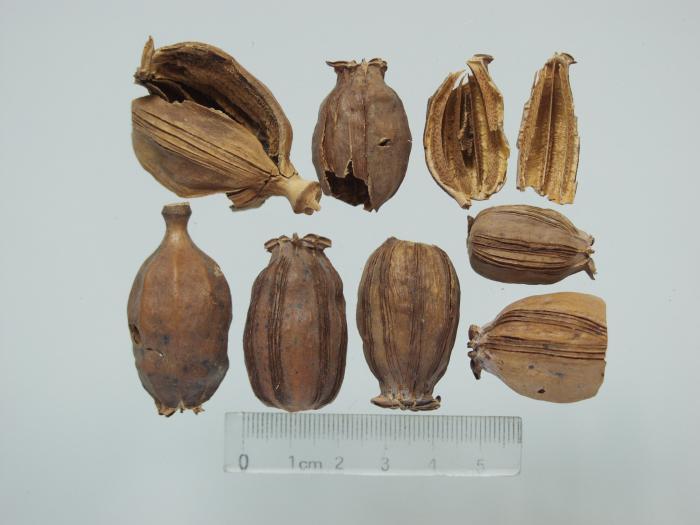 Photo of the pericarp of mature fruit of Papaver somniferum