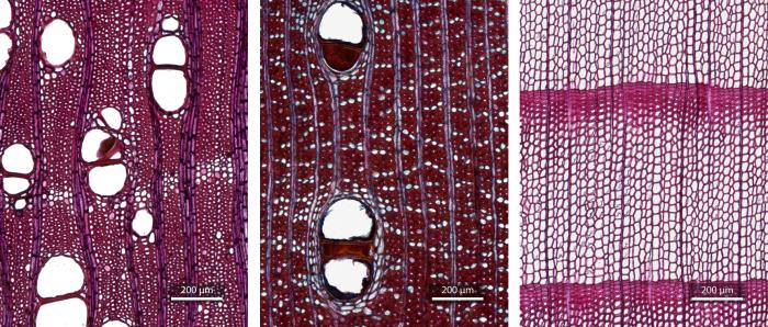 Scans produced with a 10x objective and extended depth of field showing transverse sections of (from left to right) Swietenia humilis (standard hardwood), Dalbergia retusa (non-standard hardwood), and Taxus cuspidata (softwood)