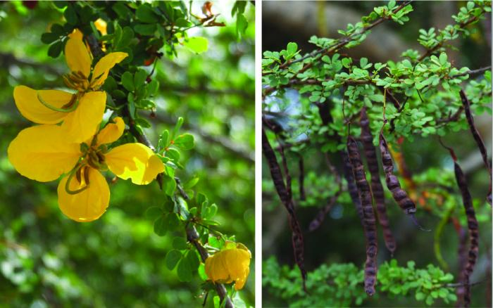 Image showing flowers and fruit of Senna polyphylla var. neglecta