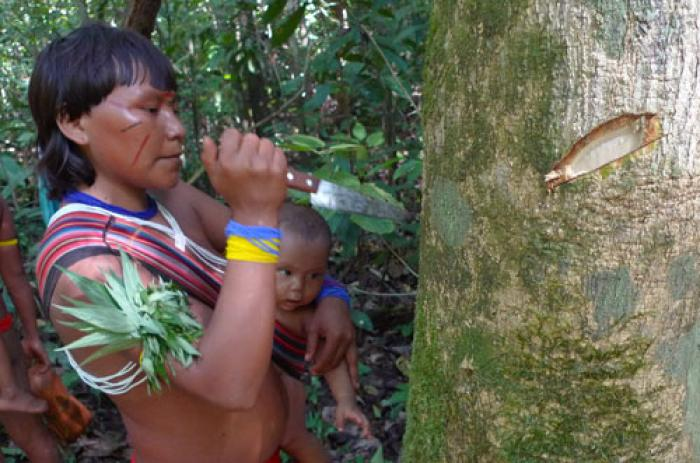 Luana, one of the main Yanomami researchers, examining the trunk of Zanthoxylum pentandrum whose bark is used to treat toothache and earache (Photo: W.Milliken)