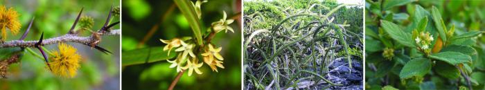 I'mage showing LVachellia anegadensis; Metastelma anegadense; Leptocereus quadricostatus; Varronia rupicola