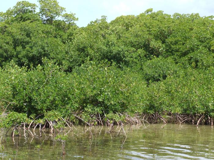 Image showing mangroves are a globally and locally threatened habitat and >70% of all mangroves in BVI occur in Anegada