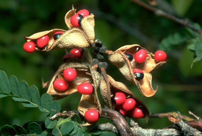 Image showing the seeds of Abrus precatorius L.