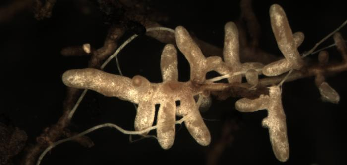 A picture showing the white branching structure of the fungus entwined with brown roots