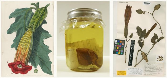 Photo of illustration, jar and dried specimen