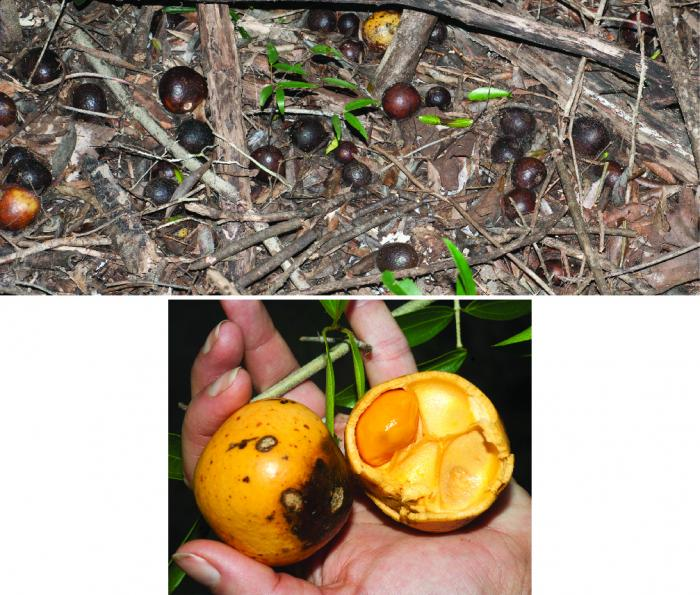 Despite containing delicious sweet pulp, the tennis-ball size fruits of a Strychnos species in Madagascar rot under the tree