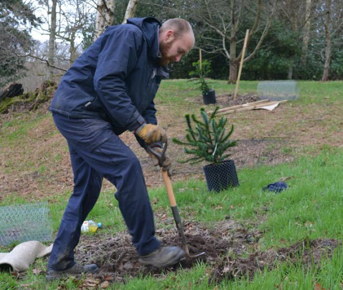 Photo of Chris Stubbings planting a monkey puzzle