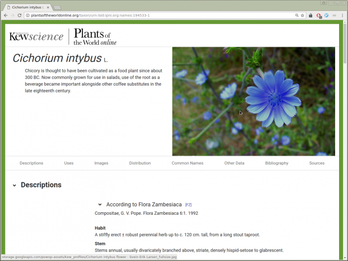 Image showing POWO species page for Cichorium intybus L. with photo, summary, and Flora Zambesiaca description
